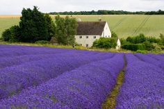 78038334bc8f16f76eae0d096ba78870--lavender-flowers-lavender-fields